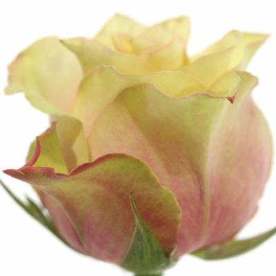 Růžová růže SECRET LOVE 70cm (XXL)