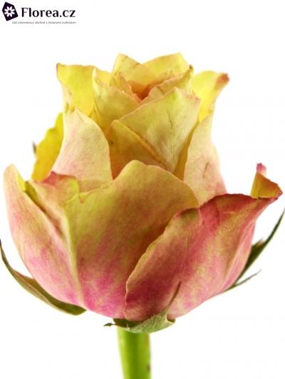 ROSA SECRET LOVE 50cm