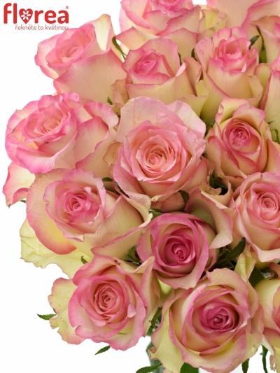 Růžová růže SOVEREIGN