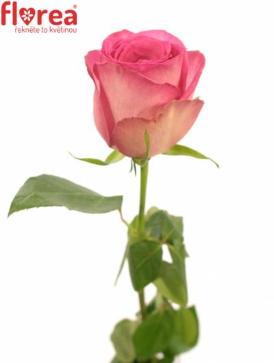 ROSA SUPREME+ 50cm (M)
