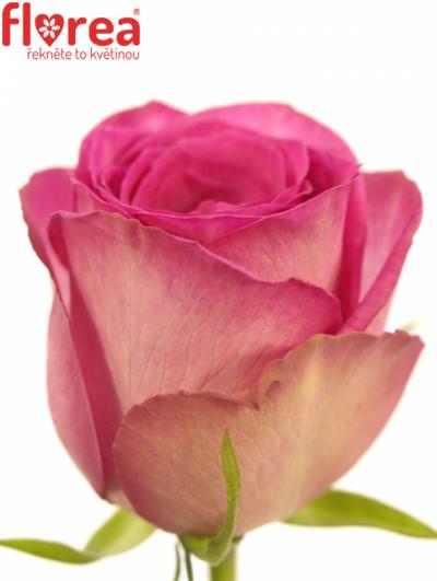 ROSA SUPREME+ 60cm (M)