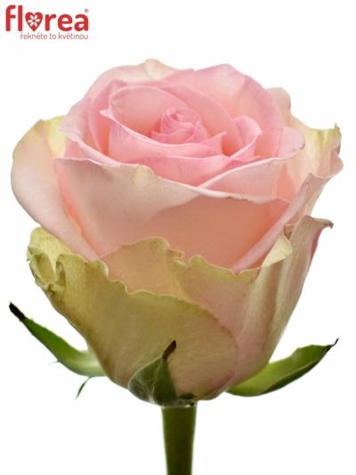 Růžová růže SVETLANA