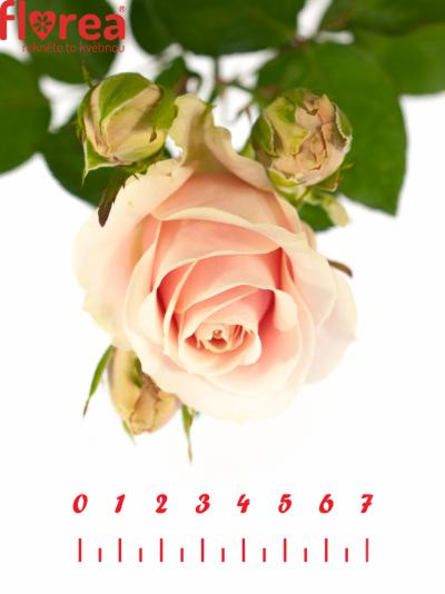 Růžová růže SWEET AVALANCHE 80cm/4+