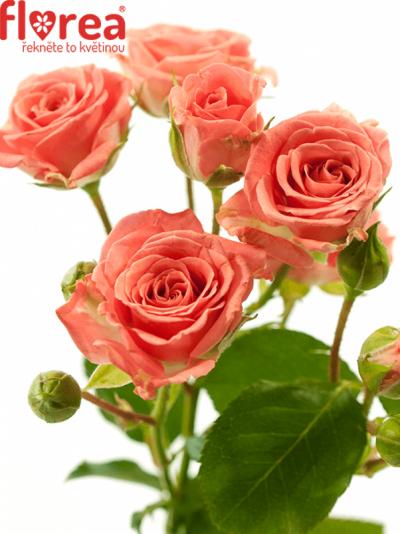 Růžová růže SYLVANA 60cm/5+