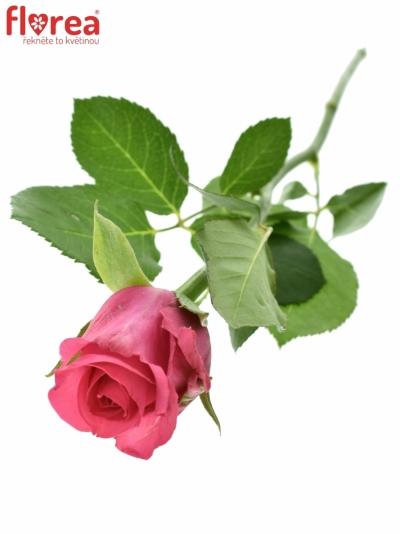 Růžová růže TENGA VENGA 60cm