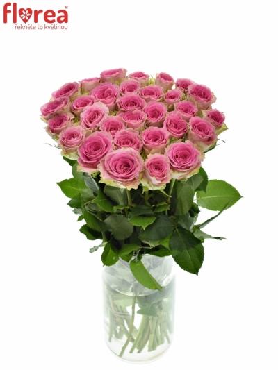 Růžová růže TIMES SQUARE 60cm