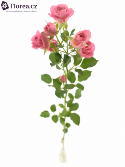 Růžová růže NATHALIE 70cm/7+