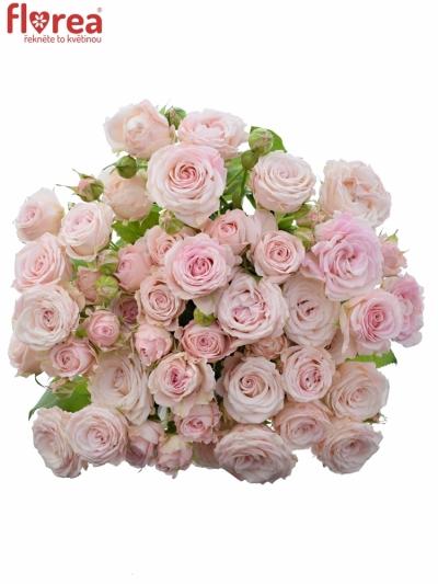 Růžová růže trsová AEROBIC
