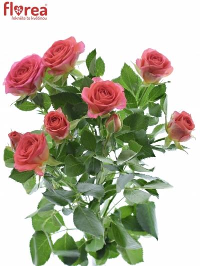 Růžová růže trsová CHIMO 40cm/4
