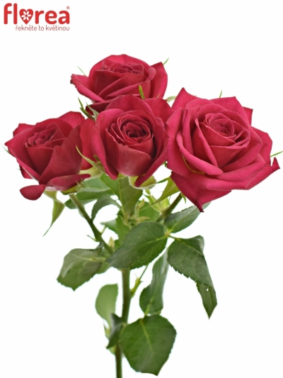 Růžová růže trsová QUINCY 40cm/4+