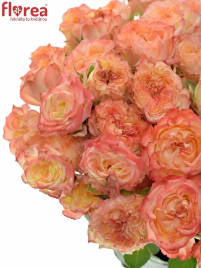 Růžová růže trsová SHOW FLOW