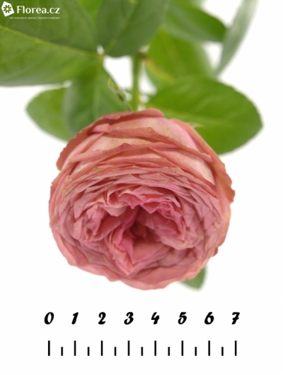 Růžová růže TURKISCH DELIGHT