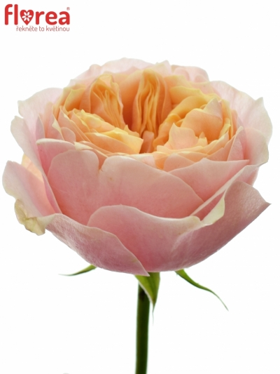 Růžová růže VUVUZELA 50cm