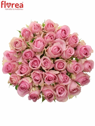 Růžová růže WHAM 60cm