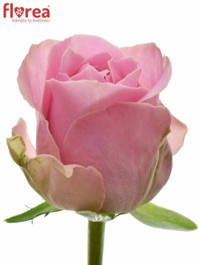 Růžová růže WHAM 40cm (M)