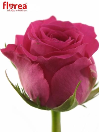 Růžová růže WINK 60cm (M)