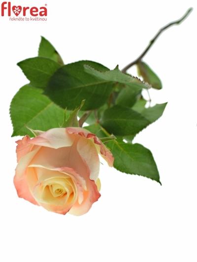 Růžová růže YASHIKA 70cm (L)