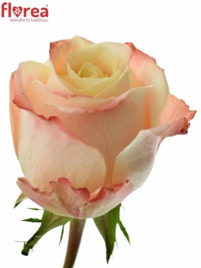 Růžová růže YASHIKA 80cm (L)