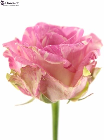 ROSA FREAKY AVALANCHE+ 55cm