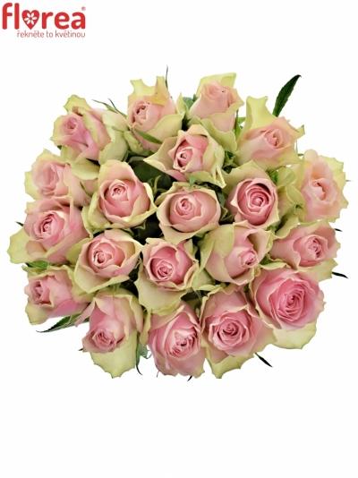 Růžovozelená růže BELLE ROSE