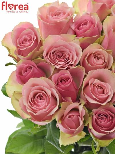 Růžovozelená růže BELLEVUE 60cm