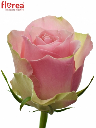 Růžovozelená růže BELLEVUE 50cm (M)