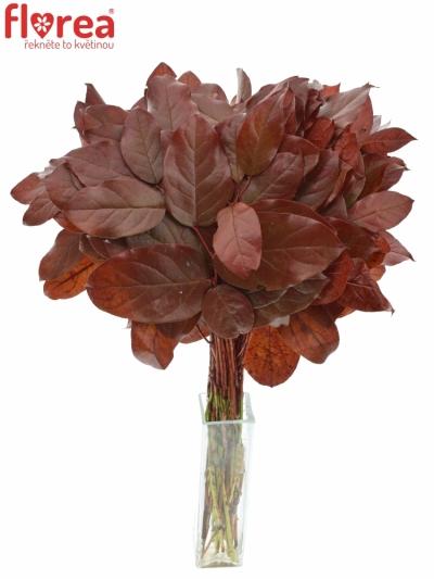 SALAL TIP RED 50cm