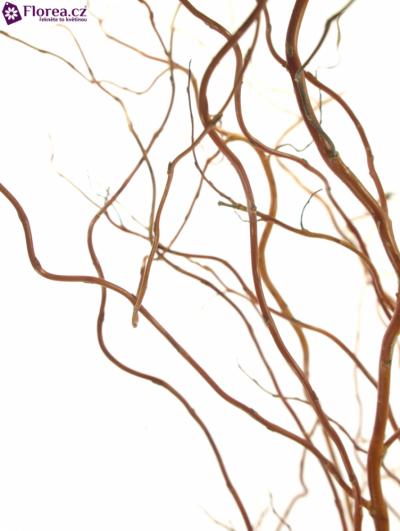 Salix Twisted