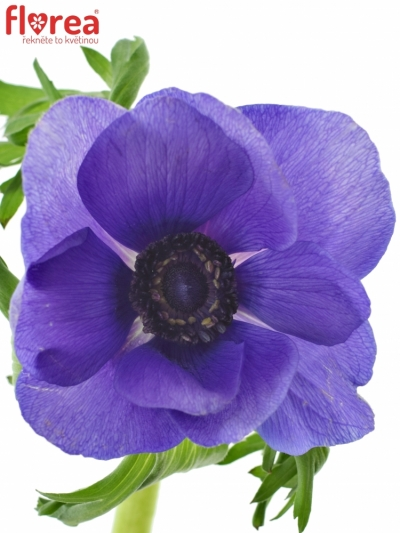 ANEMONE CORONARIA CARMEL BLUE 45cm
