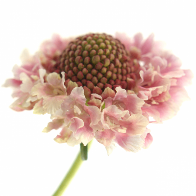 SCABIOSA CANDY SCOOP