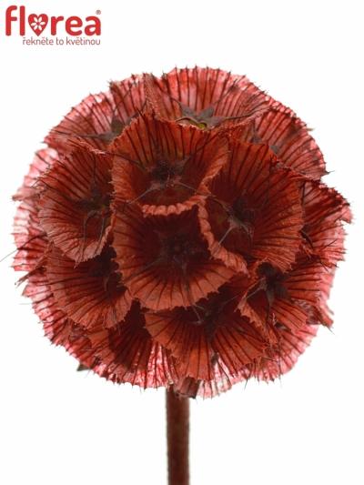 SCABIOSA STELLATTA RED 60cm