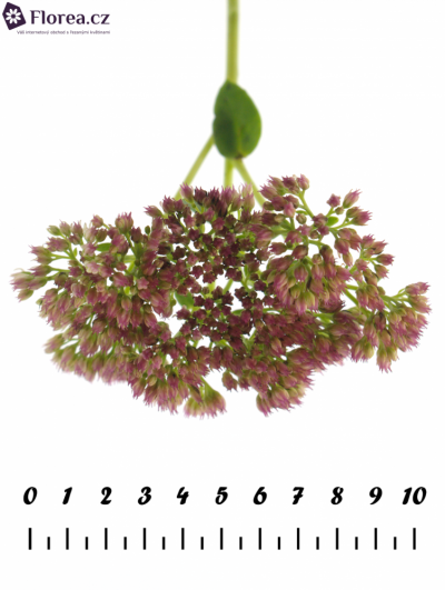 SEDUM SPECTABILE 50cm