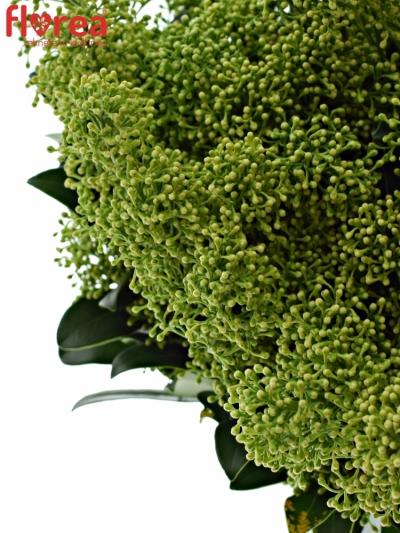 Skimije JAPONICA FRANK WHITE 35cm