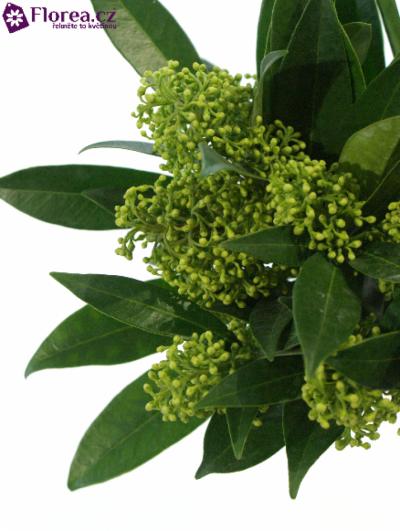 SKIMMIA KEW GREEN 20cm