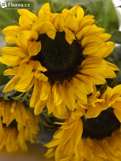 HELIANTHUS ANNUUS SUNRICH ORANGE 75cm/10cm