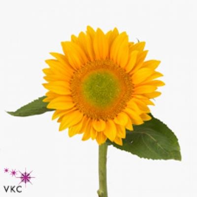 Slunečnice ANNUUS VINCENTS FRESH