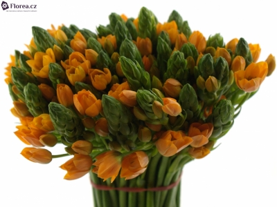 ORNITHOGALUM ORANGE FIRE 35cm