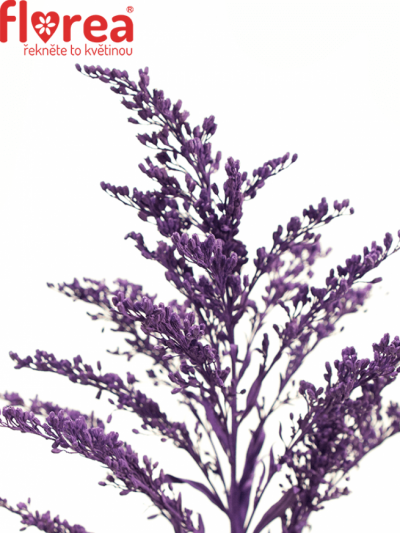 SOLIDAGO PURPLE 70cm