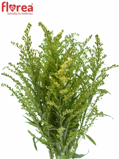 SOLIDAGO ROMANTIC GLORY 80cm/45g