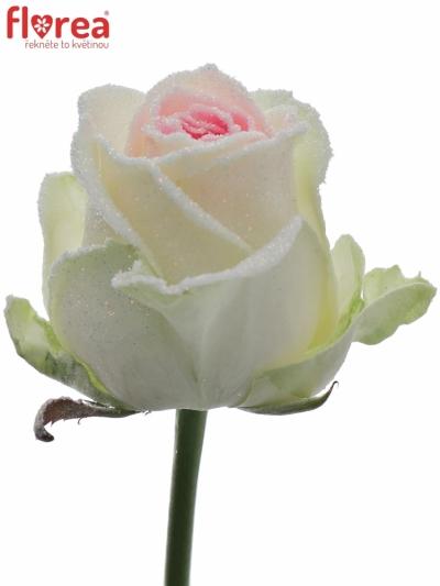 ROSA GR BLING BLING PINK 80cm (XL) (R12)