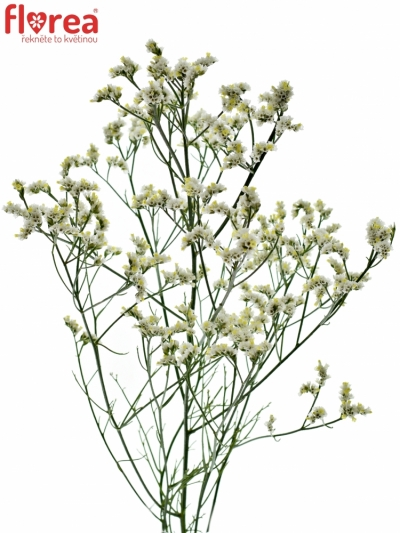 LIMONIUM SINENSIS MOUNTAIN DIAMOND 60cm/15g