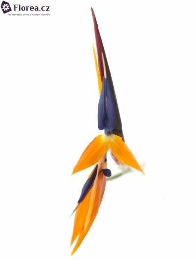 Strelícia 70cm