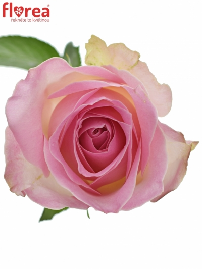 ROSA AVALANCHE SORBET+ 40cm (M)
