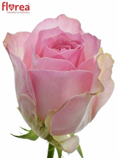 ROSA AVALANCHE SORBET+ 50cm (M)