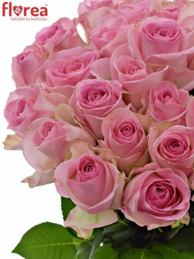 Světle růžová růže AVALANCHE SORBET+ 60cm (XXL)
