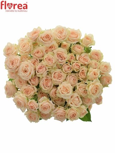 Světlekrémová růže JANA 50cm/3+