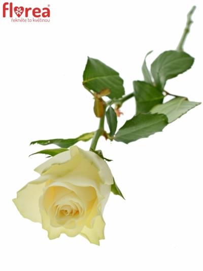 ROSA SOLSY 50cm (M)