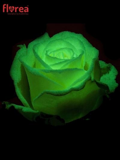 Svítící růže AVALANCHE GLOW 60cm (L)