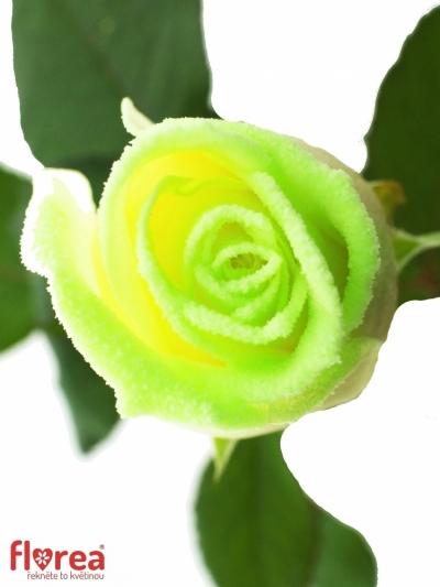 Svítící růže AVALANCHE GLOW 60cm