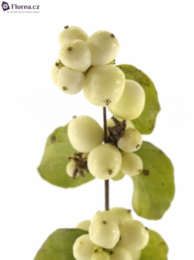 SYMPHORICARPOS MAGICAL BRIDE FANTASY 50cm